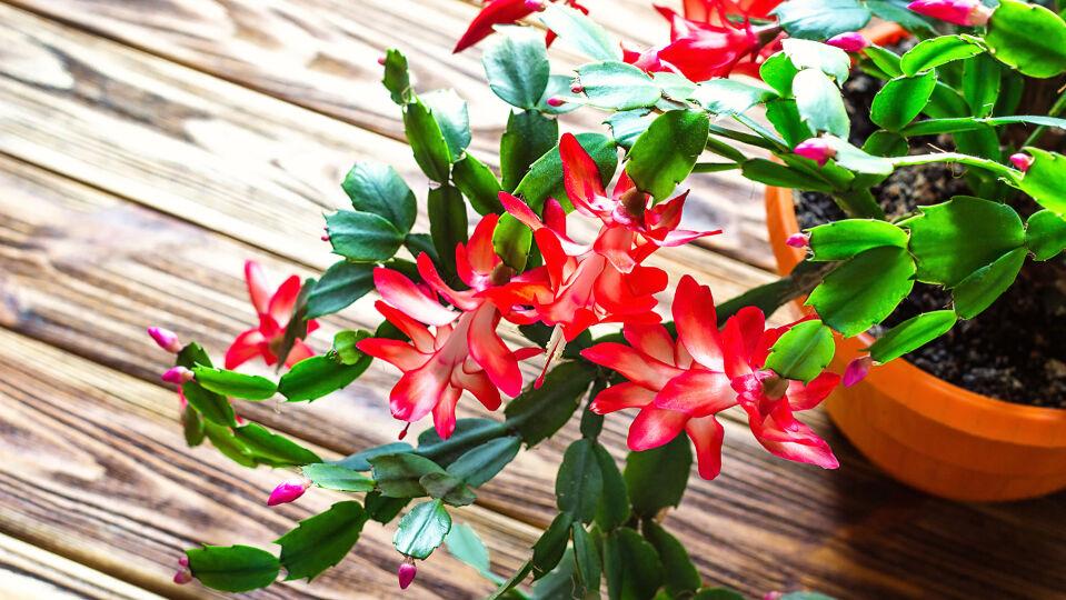 Weihnachtskaktus - Rund um die Weihnachtszeit steht der Weihnachtskaktus in voller Blüte. - © Shutterstock