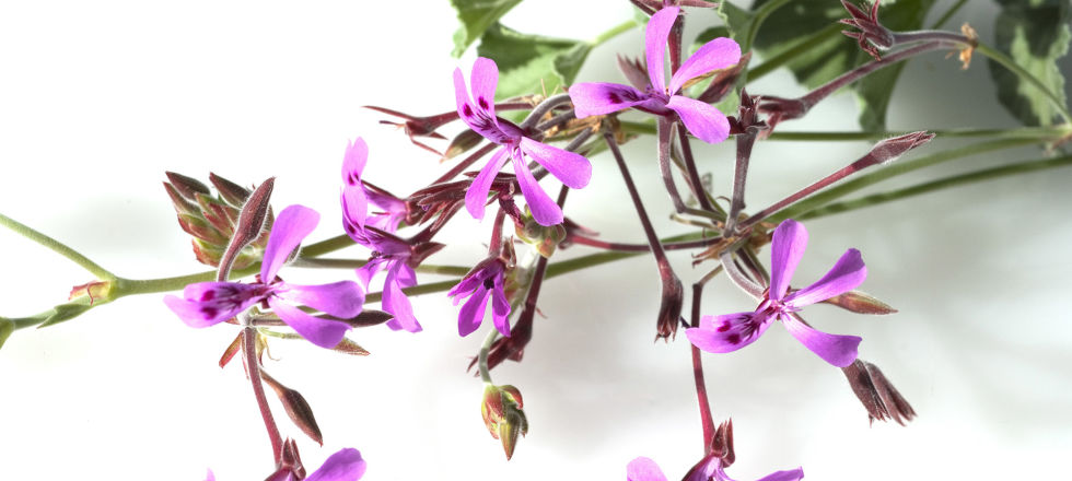 Kapland Pelargonie Heilpflanze - Die Kapland-Pelargonie ist gut erforscht. - © Shutterstock