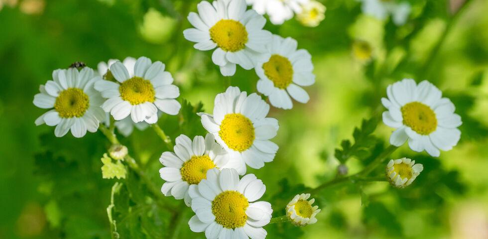Mutterkraut Heilpflanze - Das Mutterkraut ähnelt in seinem Aussehen der Kamille. - © Shutterstock