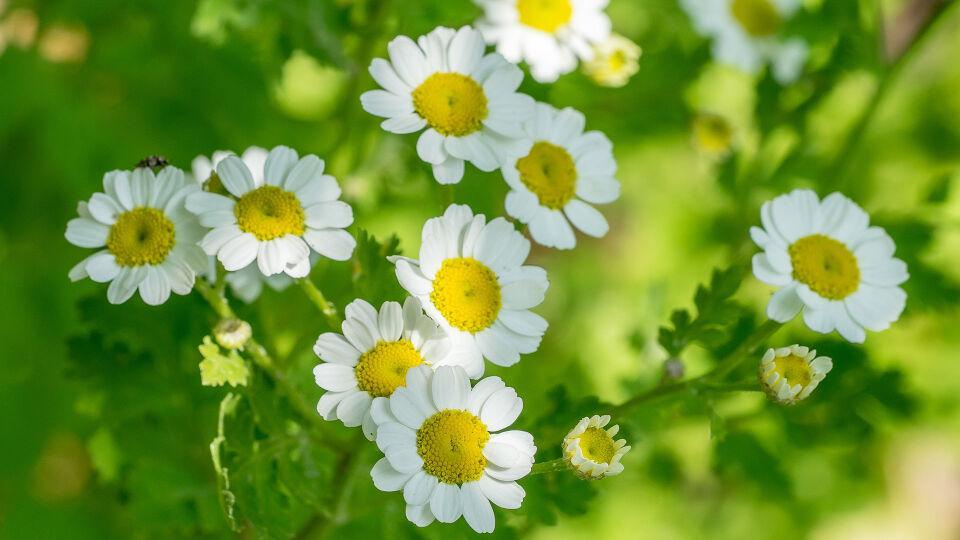 Mutterkraut Heilpflanze - Mutterkraut gibt es in der Apotheke als standardisiertes Fertigpräparat. - © Shutterstock