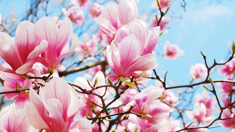 Magnolie Heilpflanze - Magnolienextrakt wird aus den Blüten, den Blättern und der Rinde des Magnolienbaums gewonnen. - © Shutterstock