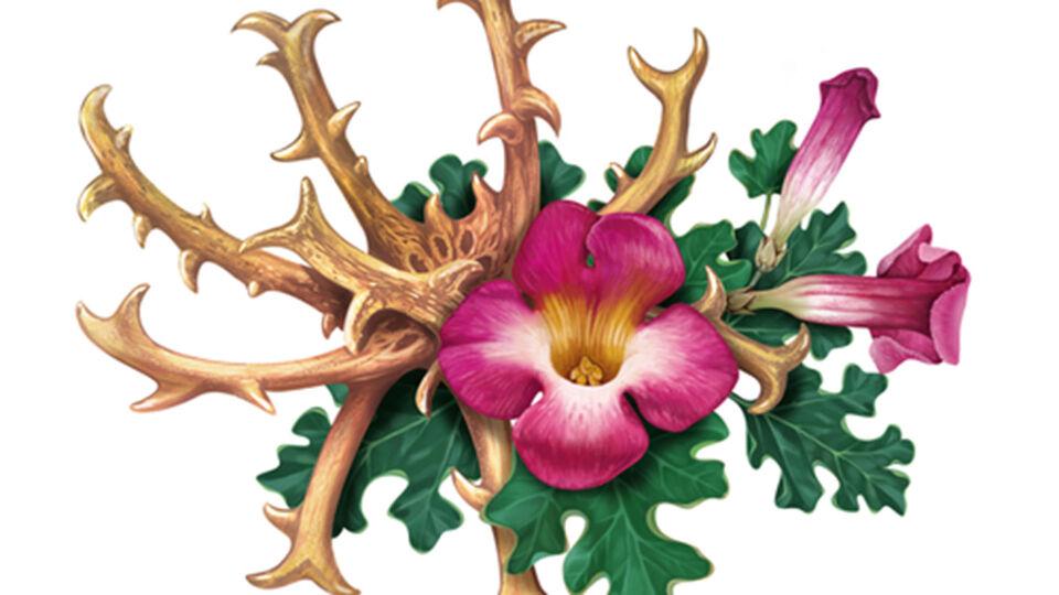 Teufelskralle_Illustration_Heilpflanze - Die Teufelskralle ist als Teezubereitung, in Tablettenform und als Salbe erhältlich. - © Shutterstock