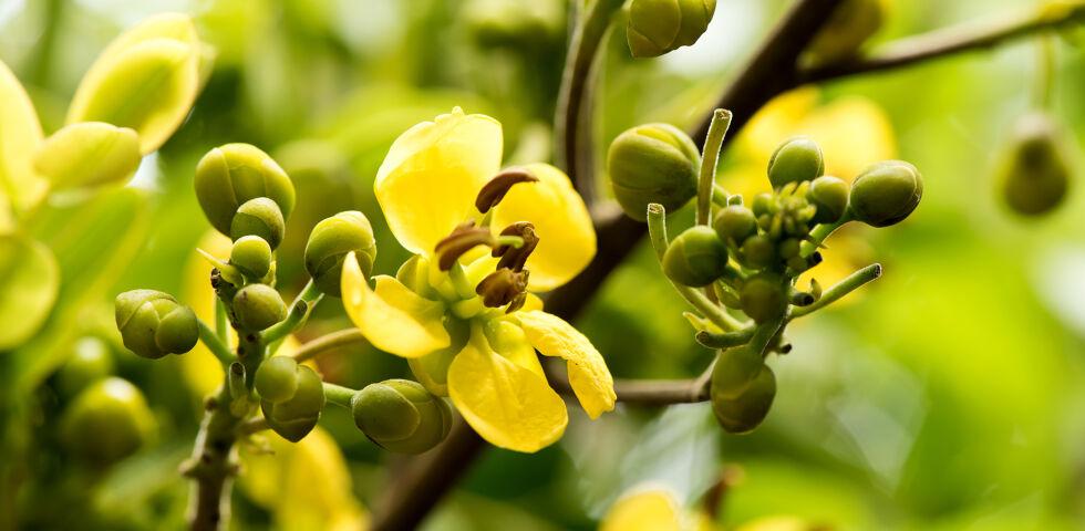Heilpflanzen Sennes Cassia Senna - Sennesblätter und -früchte haben eine abführende Wirkung. - © Shutterstock