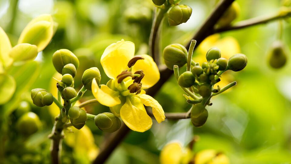 Heilpflanzen Sennes Cassia Senna - Sennesfrüchte wirken milder als die Blätter und sind eher in Fertigpräparaten wie Granulaten, Früchtewürfeln und Dragees zu finden. Die Blätter werden dagegen vorwiegend als Tee zubereitet. - © Shutterstock