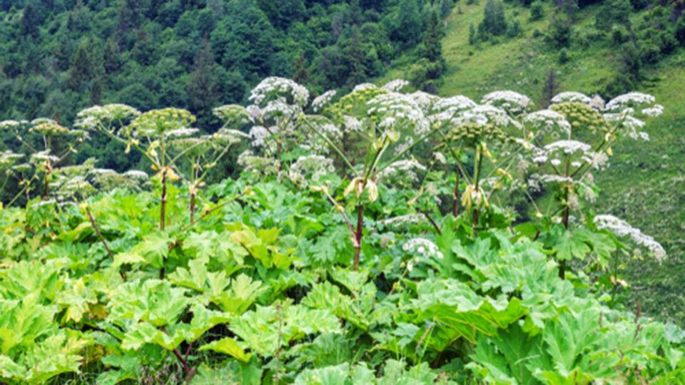 Heilpflanze_Bärenklau - Berührungen mit der Pflanze Bärenklau können zu phototoxischen Reaktionen führen. - © Shutterstock