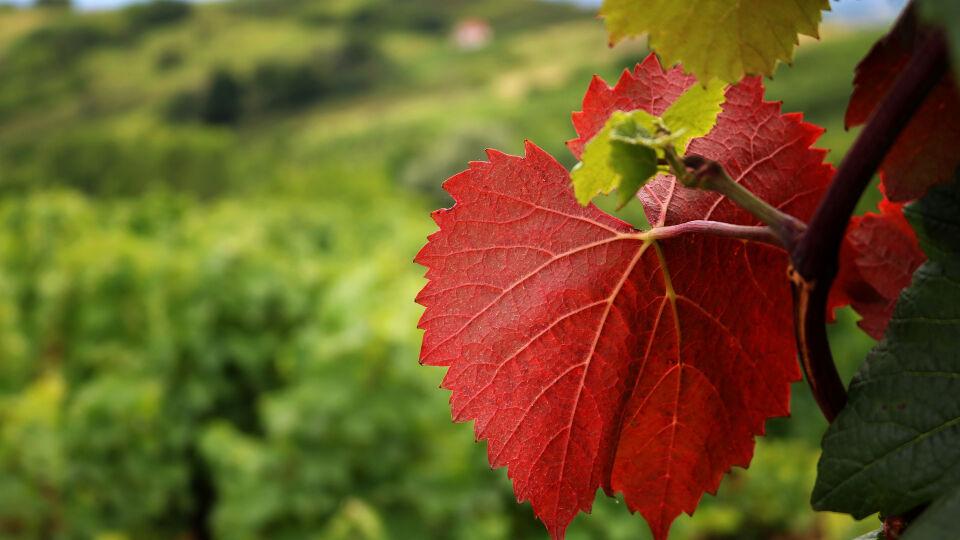 Rotes Weinlaub Heilpflanzen - © Shutterstock