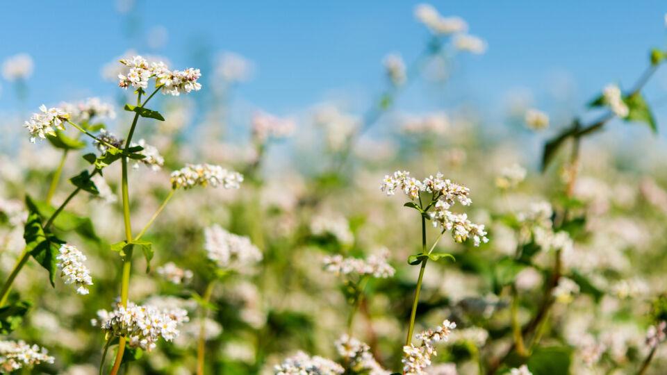 Buchweizen Heilpflanzen - © Shutterstock