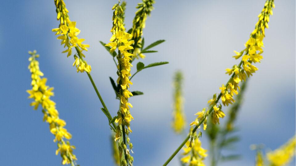 Steinklee Heilpflanzen - © Shutterstock