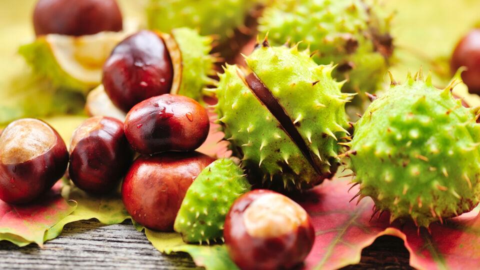 Kastanie Heilpflanzen - © Shutterstock