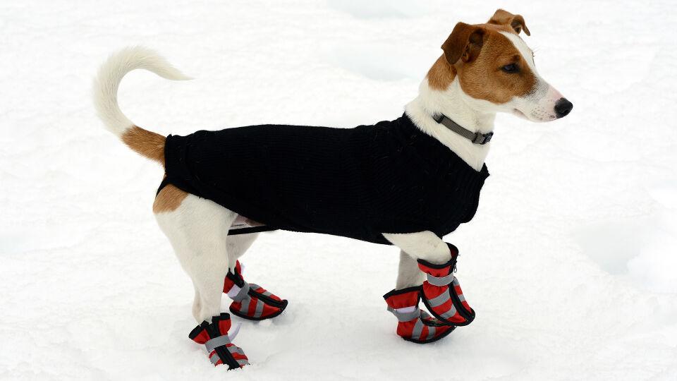 Hund Winter - Spezielle Pfotenschuhe schützen die Ballen vor widrigen Umwelteinflüssen. - © Shutterstock
