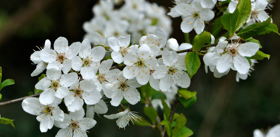 Heilpflanze Weißdorn - Weißdorn zählt zur Familie der Rosengewächse. - © Shutterstock