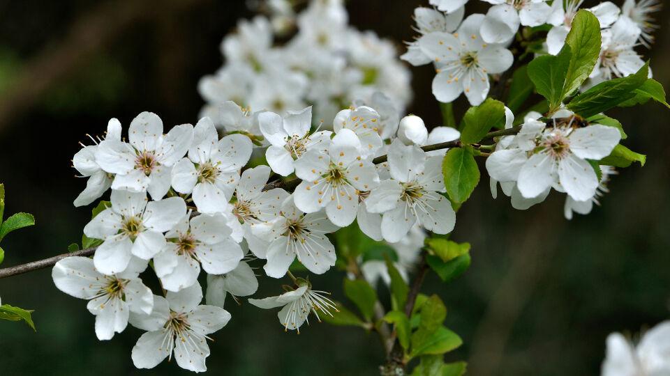 Heilpflanze Weißdorn - Weißdorn wird als Heilpflanze vor allem bei Herz- und Kreislaufschwäche eingesetzt. - © Shutterstock