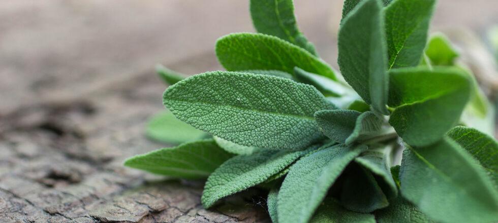 Salbei Heilpflanze - © Shutterstock