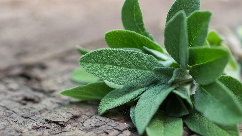 Salbei Heilpflanze - Salbei ist nicht nur in der Küche beliebt. - © Shutterstock