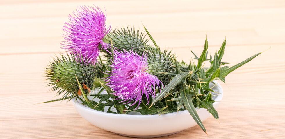 Mariendistel Heilpflanze - Mariendistel - © Shutterstock