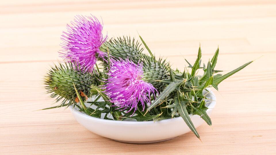 Mariendistel Heilpflanze - Lebergesundheit: Fragen Sie Ihren Tierarzt zum Beispiel nach Präparaten, die Mariendistel enthalten. - © Shutterstock