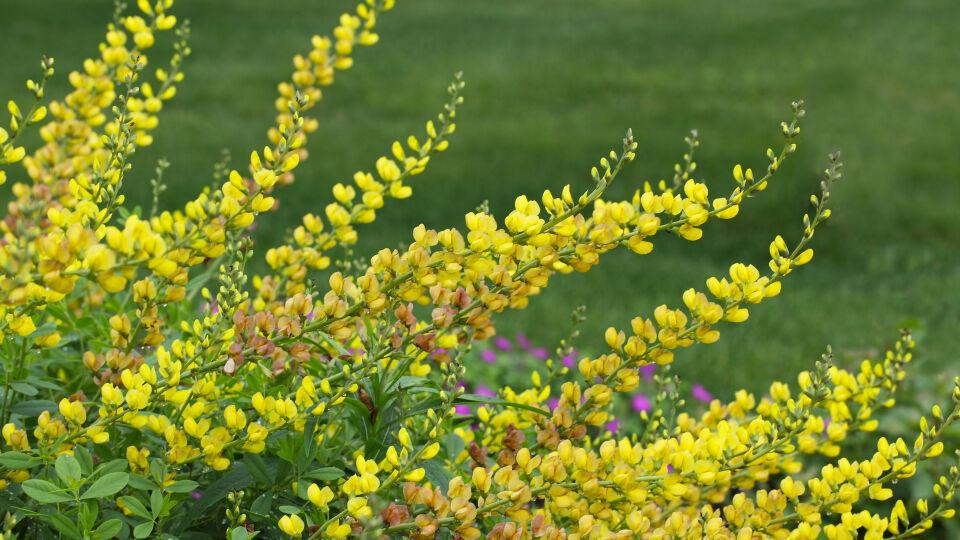 Färberhülse Wilder Indigo Heilpflanze - © Shutterstock