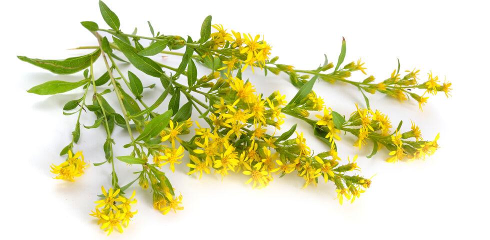 Heilpflanze Goldrute - Goldrute wirkt harntreibend, entzündungshemmend, schmerzstillend und leicht krampflösend. - © Shutterstock