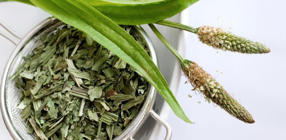 Spitzwegerich Heilpflanze - Der Spitzwegerich ist eine mehrjährige, winterharte Pflanze. Seine Blätter werden 10 bis 20 Zentimeter lang. - © Shutterstock