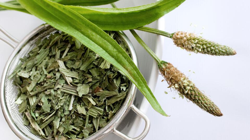 Spitzwegerich Heilpflanze - © Shutterstock