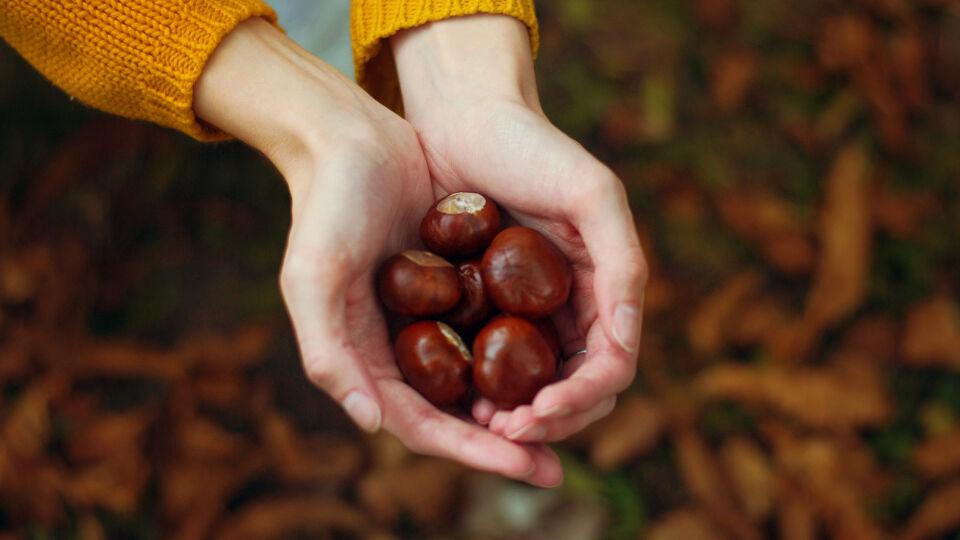 Rosskastanie Heilpflanze - © Shutterstock