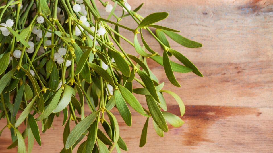 Mistel Heilpflanze - © Shutterstock