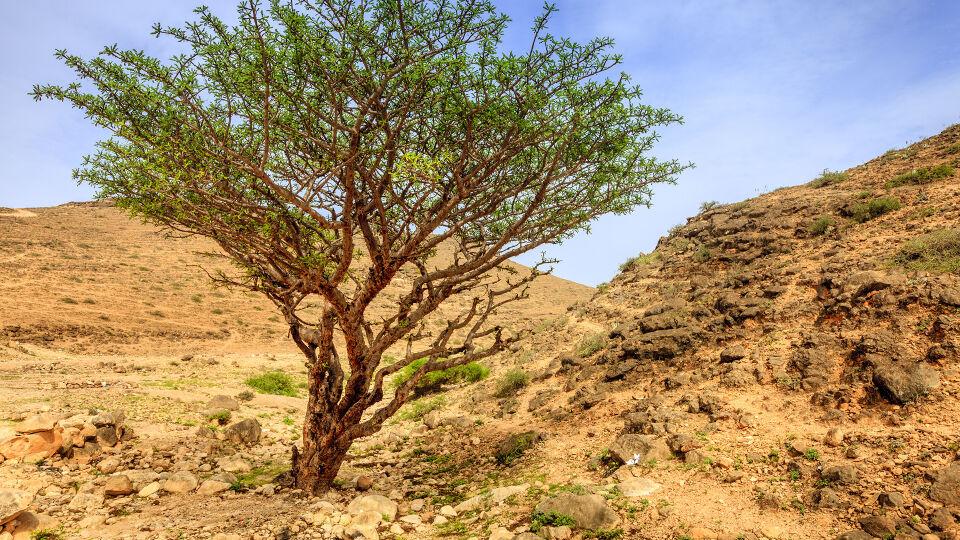 Weihrauch Baum Heilpflanze - Weihrauch wird aus dem Weihrauchbaum gewonnen (Boswellia sacra u.a.). - © Shutterstock