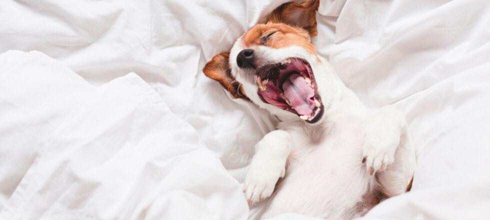 Müde Hund Haustier - Im Frühjahr reagiert unser Körper einfach auf die Veränderungen der Natur. Es braucht ein paar Wochen, bis wir aus dem Winterschlaf erwachen. - © Shutterstock