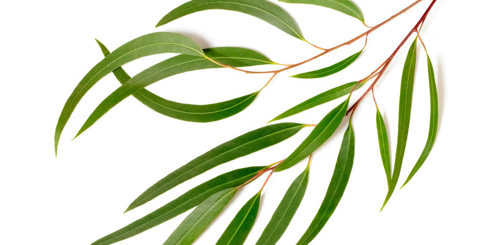 Eukalyptus Heilpflanze - Während sich Koalabären ausschließlich von Eukalyptusblättern ernähren und diese auch gut vertragen, würde das ätherische Öl der Blätter in derart großen Mengenfür andere Säugetiere und auch für Menschen toxisch wirken. - © Shutterstock
