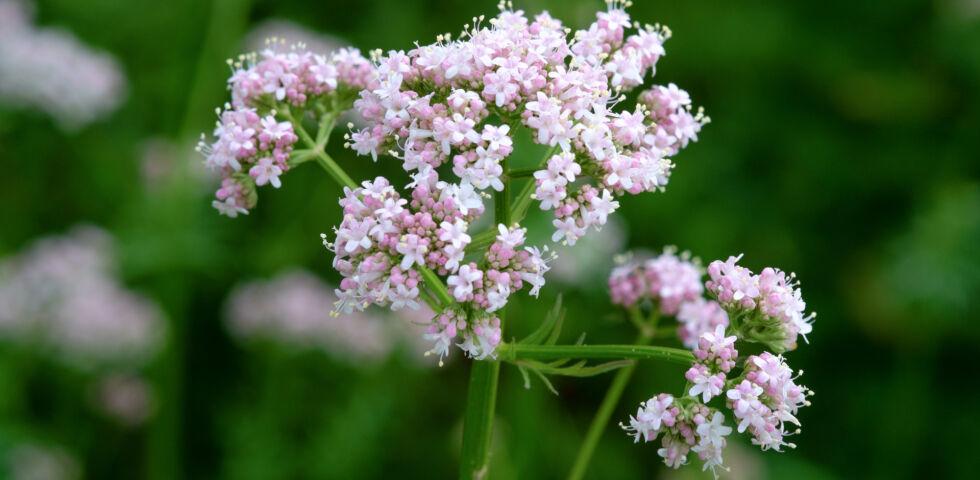 Baldrian Heilpflanzen - Baldrian kann bei Schlafstörungen helfen. - © Shutterstock