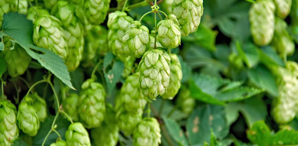 Hopfen Heilpflanze - Entspannende Wirkung: Hopfen(Humulus lupulus) - © Shutterstock