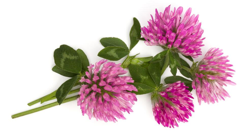Heilpflanze Rotklee - Rotklee wird bei klimakterischen Beschwerden eingesetzt. - © Shutterstock