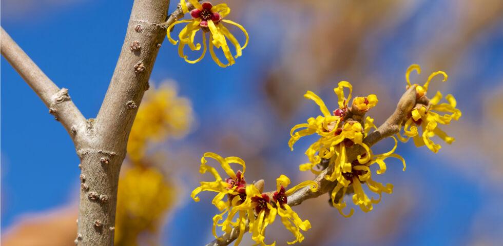 Heilpflanze Hamamelis Zaubernuss - Für die Anwendung von Hamamelis eignen sich die getrockneten Blätter und die getrocknete Rinde. - © Shutterstock