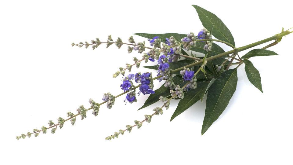 Heilpflanze Mönchspfeffer - Mönchspfeffer hilft bei PMS. - © Shutterstock