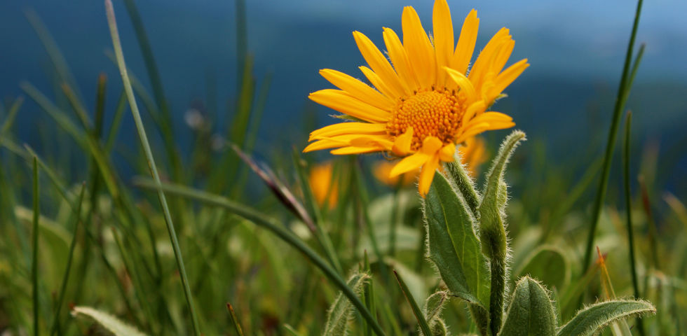"""Arnika Heilpflanze - Arnika, die alte """"Zauberpflanze"""". - © Shutterstock"""