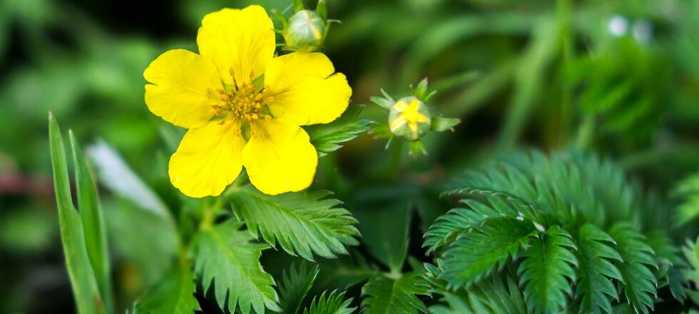 Heilpflanzen Gänsefingerkraut - Gänsefingerkraut wirkt krampflösend. - © Shutterstock