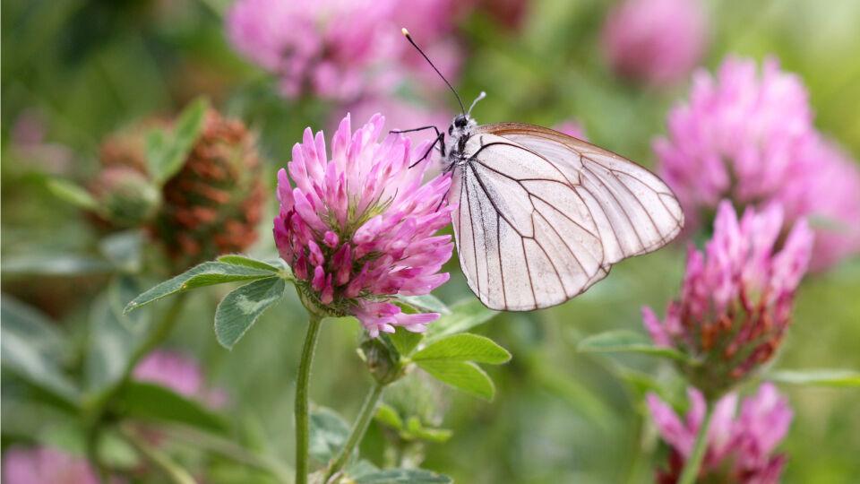 Heilpflanzen Rotklee - Isoflavone kommen in vielen Pflanzen vor; besonders häufig sind diese in Rotklee (Bild) und Soja zu finden.
