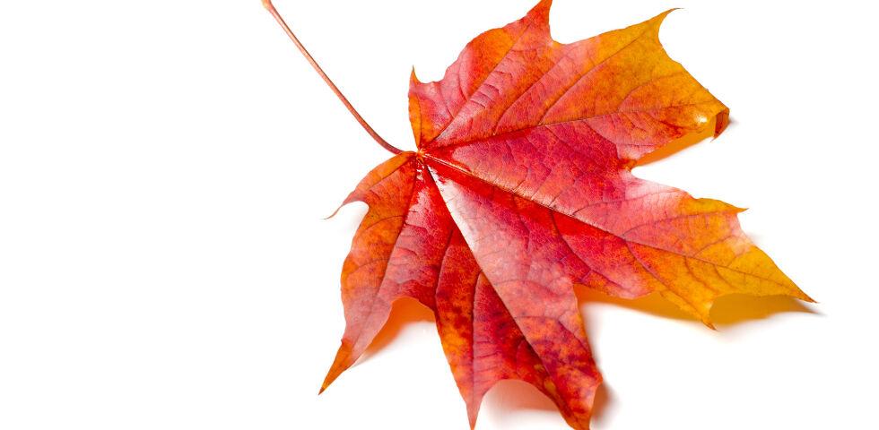Heilpflanzen Rotes Weinlaub - Die Wirkstoffe des Weinlaubs erhöhen die Elastizität der Venen und stabilisieren die Gefäßwände. - © Shutterstock