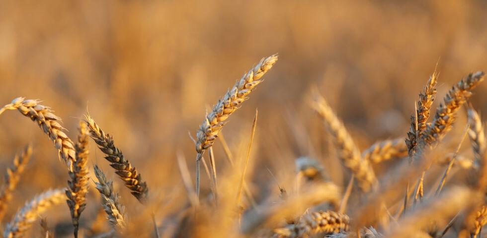 Weizen Ernährung - © Shutterstock