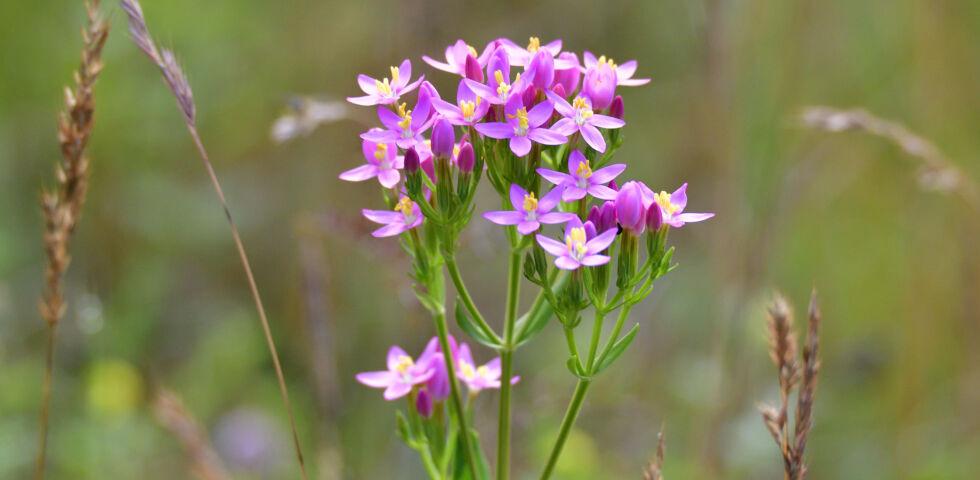Heilpflanzen Tausendgüldenkraut Centaurium erythraea - Das Tausendgüldenkraut gehört zur Familie der Enziangewächse und ist ebenso wie der Enzian eine Bitterpflanze. Es wird daher als Heilpflanze gerne bei Verdauungsstörungen eingesetzt.