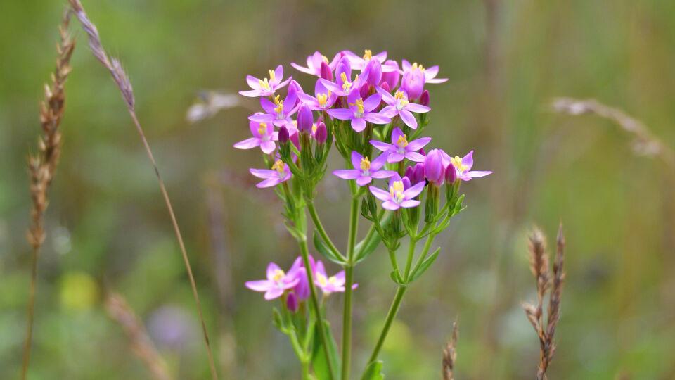 Heilpflanzen Tausendgüldenkraut Centaurium erythraea - Tausendgüldenkraut wird am besten als Tee oder Tinktur eingenommen.