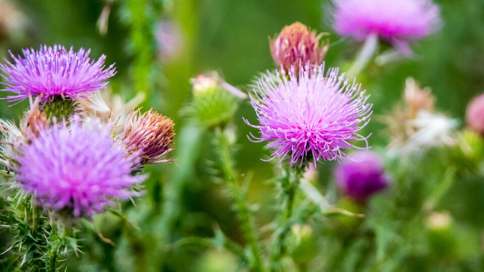 Heilpflanzen Mariendistel - Die Mariendistel wird am besten als Fertigpräparat mit einem standardisierten Trockenextrakt eingenommen.