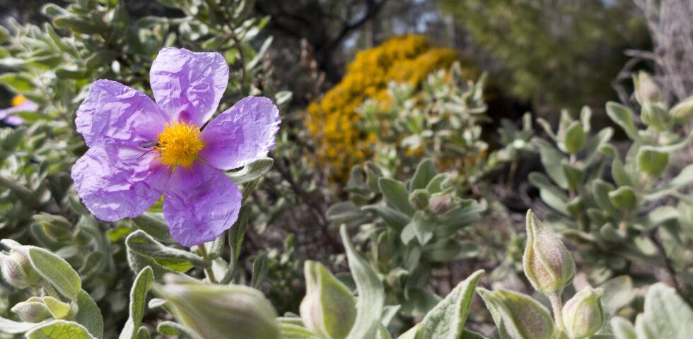 Zistrose Heilpflanze - DieZistrosekommt ursprünglich aus dem Mittelmeerraum.