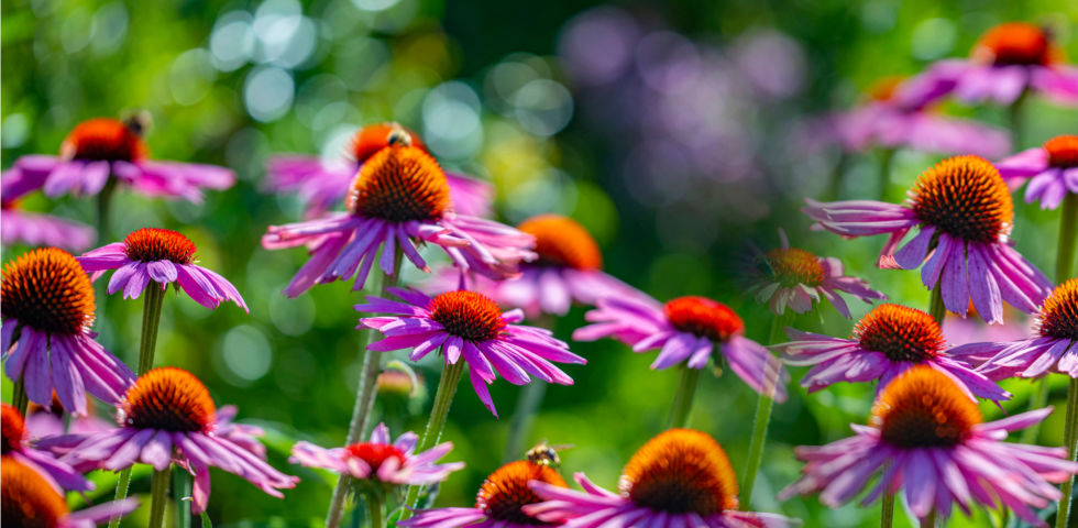 Heilpflanzen Sonnenhut Echinacea - Der Sonnenhut (Echinacea) kann Infekte im Vorhinein abwehren.