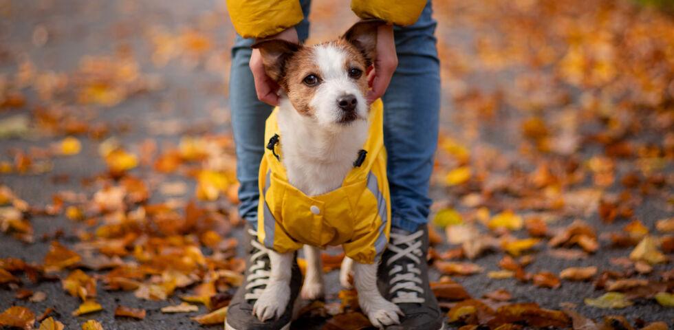 Hund mit Mantel Herbst_Haustiere - Ein Hundemantel sollte gut sitzen, keinesfalls scheuern oder einschnüren.