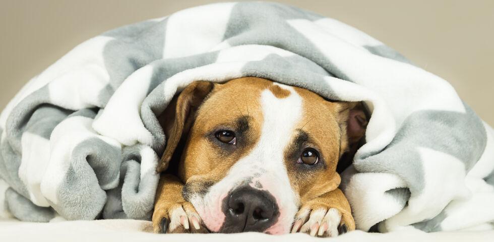 Hund - Auch Hunde und Katzen können sich erkälten. - © Shutterstock