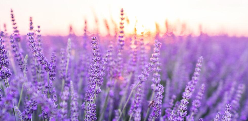 heilpflanze lavendel_shutterstock_1725837757 - Lavendel hilft bei Unruhe und Einschlafstörungen.