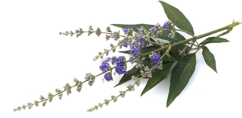 Mönchspfeffer Heilpflanze - Mönchspfeffer hat in der europäischen Heilkunde eine sehr lange Tradition. - © Shutterstock