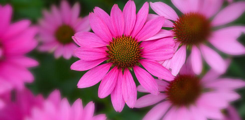 Sonnenhut Echinacea Heilpflanzen - Der Sonnenhut wirkt sich positiv auf das Immunsystem aus. - © Shutterstock