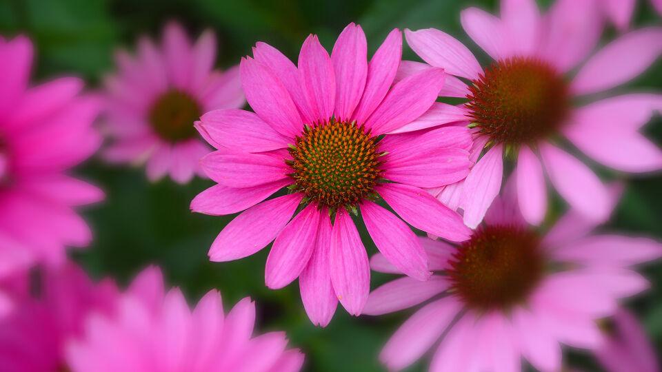 Sonnenhut Echinacea Heilpflanzen - © Shutterstock
